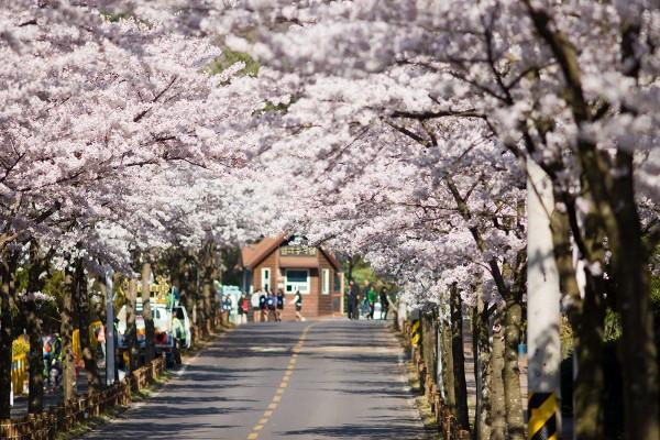 Hàn Quốc với những địa điểm ngắm hoa anh đào đẹp nhất